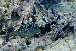Moorea, French Polynesia; Spotted Toby (Canthigaster solandri), solitary or in pairs, found in lagoon and seaward reefs to 35 meters, in the Indo-Pacific Ocean region, E. Africa to Line Island and French Polynesia. S.W. Japan and Micronesia (except Palau) to Tonga, to 10.5 cm , Copyright © Matthew Meier, matthewmeierphoto.com All Rights Reserved