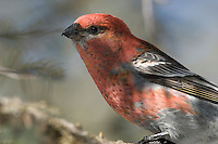 Pine Grosbeak, Blue sky, Jasper National Park