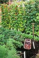 Vegetables in Garden including blue potatoes, red potatoes, new potatoes, scarlet runner beans, garden tool, labels, radishes, good black dirt soil