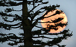 March full moon set behind a California Pine viewed from the top Hyde Street. Today moon is called the Sap moon and sets at sunrise and rises at sunset.