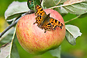 Comma butterfly (Polygonia c-album) on apple, mid September.