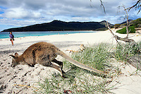 A Bennett's Wallaby hops on the beach at Wineglass bay,Freycinet National Park Tasmania, Australia..Picture James Horan