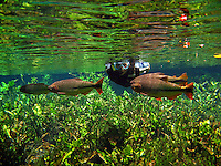 Snorkelling at natural aquarium in Bonito, Mato Grosso do Sul state, Brazil.