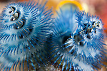 Taveuni, Fiji; a pair of blue and white Christmas Tree Worms on the coral reef