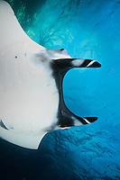QT1884-D. Manta Ray (Manta birostris). Baja, Mexico, Pacific Ocean.<br /> Photo Copyright &copy; Brandon Cole. All rights reserved worldwide.  www.brandoncole.com