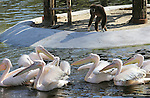 Foto: VidiPhoto<br /> <br /> RHENEN - In Ouwehands Dierenpark in Rhenen is donderdag een gloednieuw pelikanenverblijf in gebruik genomen. De achttien vogels werden met een bus naar hun nieuwe onderkomen gebracht en doken direct het water in voor een zwemtest. Tijdens de bouw van het verblijf hebben de pelikanen drie maanden achter de schermen gezeten. Hun oude vijver is gedempt om eind dit jaar plaats te maken voor Pandasia, met twee reuzenpanda's. De nieuwe ruimte van 3000 vierkante meter heeft een eiland waar gibbons naar toe kunnen slingeren, zodat interactie tussen de twee diersoorten mogelijk is.