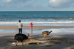 Cassowary/cassowaries (Casuarius casuarius johnsonii) passing through tourists, families, playing kids walking through a camp site by the beach. Southern cassowary (Casuarius casuarius) also known as double-wattled cassowary, Australian cassowary or two-wattled cassowary.