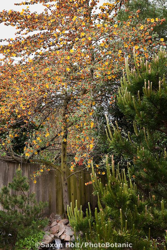 Yellow flowering Flannel Bush or Fremontia (Fremontodendron californicum) Kyte California native plant driought tolerant backyard garden