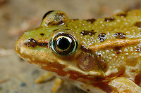 Edible Frog (Rana esculenta), Europe.