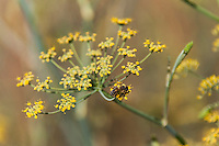 A bee on the yellow flowers of a sweet fennel plant at the Oyster Bay Regional Shoreline along San Francisco Bay.