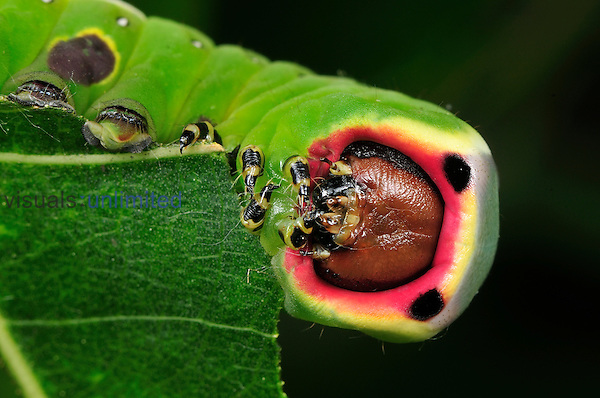 Puss Moth caterpillar feeding (Cerura vinula), Switzerland