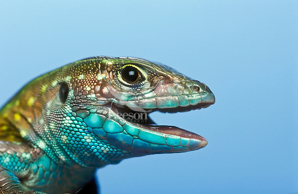 Rainbow Whiptail (Cnemidophorus lemniscatus), a lizard found in South America and now introduced in Florida.