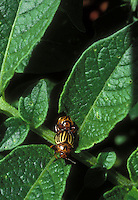 Leptinotarsa decem-lineata Colorado Potato beetle pests mating on vegetable crop