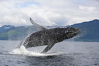 pu0604-D. Humpback Whale (Megaptera novaeangliae) breaching. Alaska, USA, Pacific Ocean..Photo Copyright © Brandon Cole. All rights reserved worldwide.  www.brandoncole.com..This photo is NOT free. It is NOT in the public domain. This photo is a Copyrighted Work, registered with the US Copyright Office. .Rights to reproduction of photograph granted only upon payment in full of agreed upon licensing fee. Any use of this photo prior to such payment is an infringement of copyright and punishable by fines up to  $150,000 USD...Brandon Cole.MARINE PHOTOGRAPHY.http://www.brandoncole.com.email: brandoncole@msn.com.4917 N. Boeing Rd..Spokane Valley, WA  99206  USA.tel: 509-535-3489