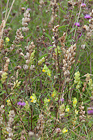 Yellow rattle (Rhinanthus glacialis) and Centaurea nigra at Great Dixter
