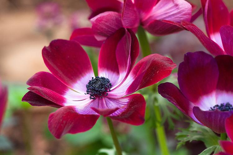 Anemone coronaria 'Bordeaux', late May.