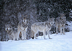 Gray wolves (Canis lupus), Canada<br />