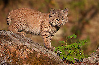 Baby Bobcat walking across the top of a mossy rock - CA