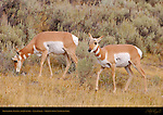 Pronghorn Female and Juvenile, Lava Creek, Yellowstone National Park, Wyoming