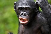 Bonobo female (Pan paniscus), Lola Ya Bonobo Sanctuary, Democratic Republic of Congo.
