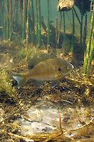 Bluegill guarding spawning bed<br />