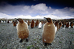 King penguin woollies, South Georgia Island