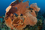 Gorgonian fan coral