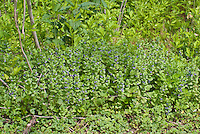 Glechoma hederacea, weed, invasive, Creeping Charlie, ground ivy, creeping Jenny, in blue flowers. AKA. Nepeta glechoma Benth., Nepeta hederacea