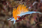 Nudibranchs