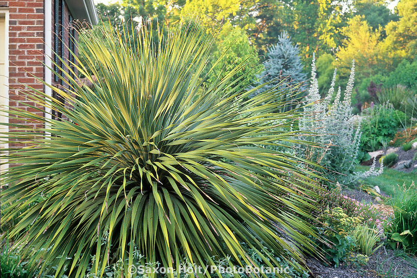 Dasylirion leiophyllum (Sotol) Succulent on berm by house in North Carolina garden