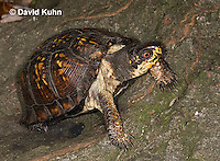 1002-0810  Eastern Box Turtle, Terrapene carolina © David Kuhn/Dwight Kuhn Photography.