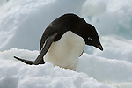 A portrait of an Adelie penguin on ice on Brown Bluff on the Antarctic Peninsula.