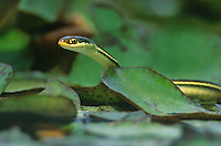 468500013 a wild arid lands ribbon snake thamnophis proximus diabolicus searches for minnows and tadpoles in a small pond in the rio grande valley in south texas united states