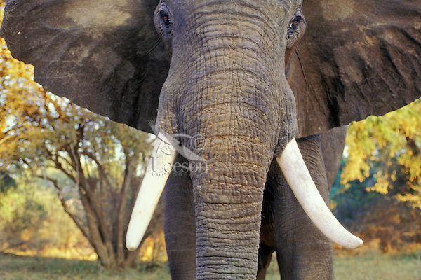African elephant bull (Loxodonta africana) being aggressive.  Mana Pools National Park, Zimbabwe.