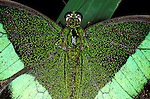 Emerald swallowtail (Papilio palinurus) close up of wings and body thorax, eyes, showing scales, green colours.Borneo....