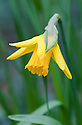 Daffodil (Narcissus 'February Gold'), mid March.