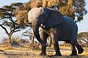 Botswana, Okavango Delta, Moremi Game Reserve, African elephant bull (Loxodonta africana) threatening