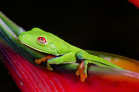 Red-eye Tree Frog (Agalychnis callidryas)Red-eyed tree frogs are predominantly found in southern Mexico, Central America, northern South America. They grow somewhere between 1.5 and 2.75 inches and have a life span of 5 years. These frogs are nocturnal carnivores. Despite their coloring they hide among leaves and catch smaller preys like insects with their sticky tongues. During day times, these rainforest animals sleep while being stuck to the bottom of large leafs, which entirely camouflages them.
