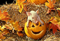 Cute white piglet sitting inside jack o'lantern playing in fall Halloween display