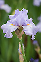 Iris 'Actress', mid May. A tall bearded iris in pale lilac blue.