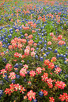 797050019 a spectacular field of wildlflowers include texas bluebonnets lupinus texensis and texas or indian paintbrush castilleja indivisa in de witt county texas
