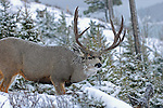 trophy typical mule deer buck, in snow storm, snowing and checking doe