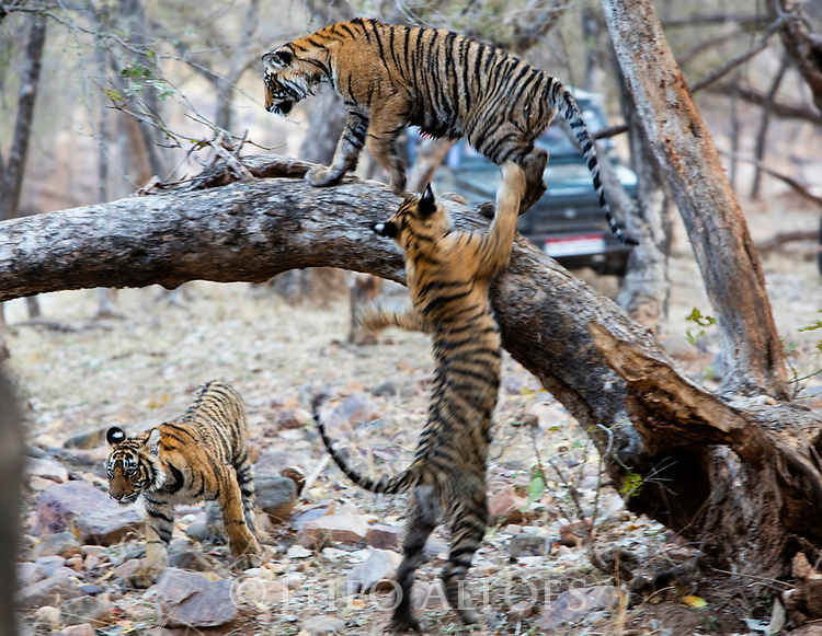 India, Rajasthan, Ranthambhore National Park, Bengal tiger cubs playing, climbing tree