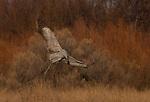 Sandhill crane, Bosque del Apache National Wildlife Refuge, New Mexico