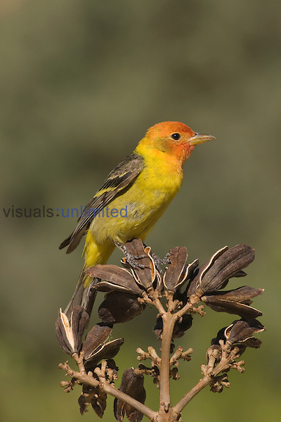 Western Tanager male (Piranga ludoviciana) on Agave seed pods, Arizona, USA.