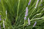 Lavender in Basilicata, Italy