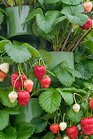 Strawberry 'Maxim' in tiered containers, mid-season variety