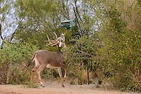 625350321 a wild whitetail deer buck odocoileus virginianus attempts to eat grain from a bird feeder on betos ranch hidalgo county rio grande valley texas united states