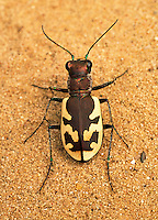 Big Sand Tiger Beetle (Cicindela formosa), Ohio, USA