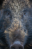 Close up portrait of female (sow) wild boar (Sus scrofa), Alladale, Scotland. Photographed in a fenced reserve.